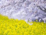 美丽的樱花油菜花