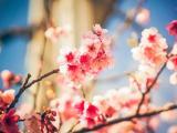 姹紫嫣红樱花
