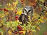 果树上的猫头鹰