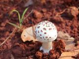 刚果森林的蘑菇