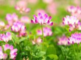 盛开的紫云英