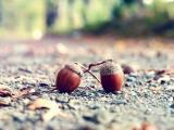 掉落的橡子果实