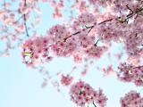 美丽的粉嫩樱花