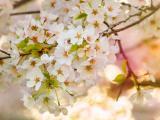 漂亮的樱花