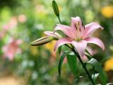 粉色百合花