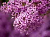 淡雅的丁香花