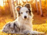 可爱的边境牧羊犬