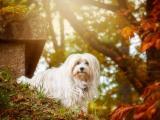 秋天里的西施犬