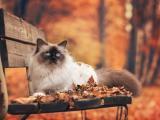 长椅上的暹罗猫