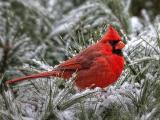 可爱红衣主教鸟