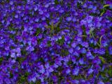 茂盛的紫色三色堇