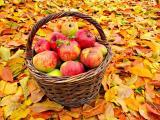 收获成熟的苹果