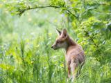 草丛里的狐狸