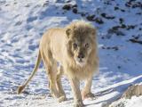 雪地里的狮子