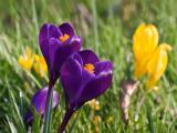 盛开的紫色番红花